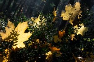 DSCF5291_feuilles_buisson