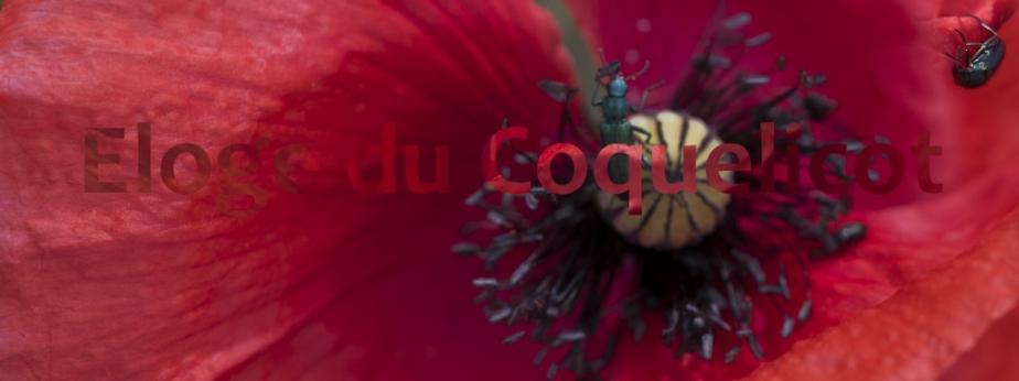 Éloge du coquelicot [3] (Nous voulons descoquelicots)