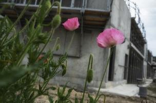 coquelicots_roses_09-05-2020_DSCF3071-2_réduit