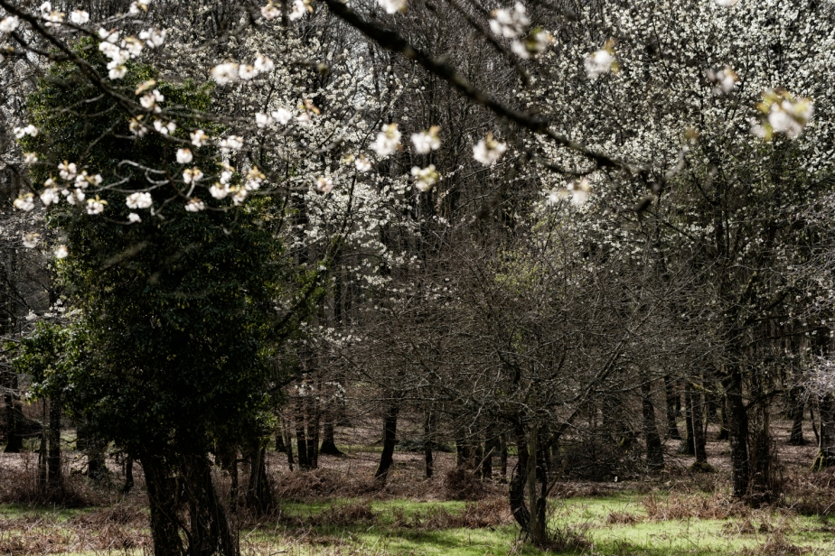 Cerisiers en fleurs –Hanami